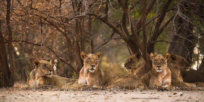 Mana Pools Lions